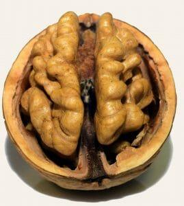 Walnuss Gehirnform