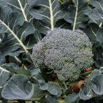 Brokkoli+
