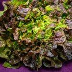 Eichblatt-Salat+