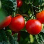 Tomaten+