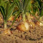 Zwiebeln onions+